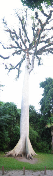 Big_Tikal_Tree